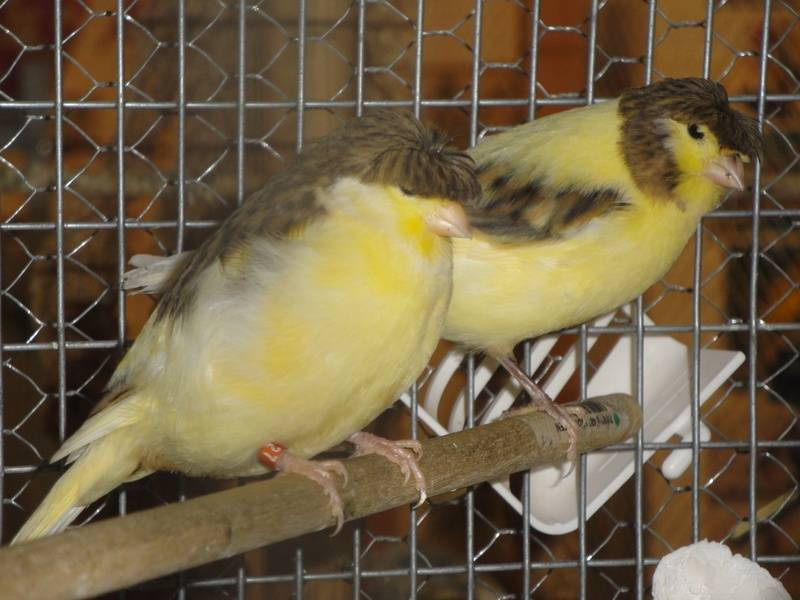 Yorkshire Canaries For Sale Canary Birds Yorkshire Canary