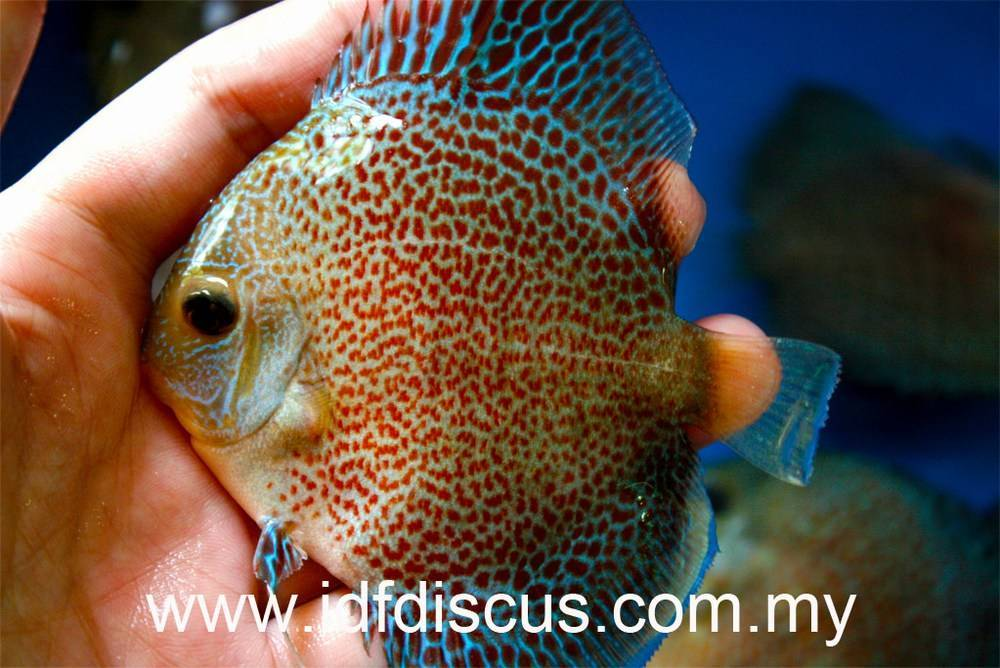Discus fish price discus mart welcome to for Discus fish price